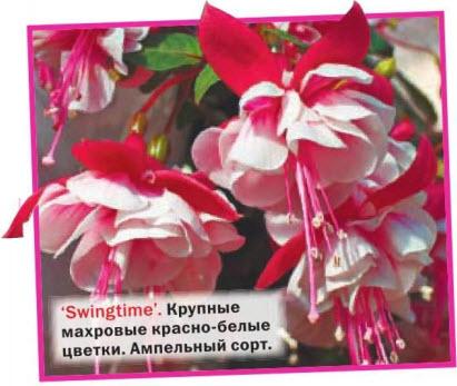 Swingtime - ампельный сорт фуксии