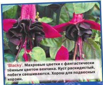 фуксия Blacky