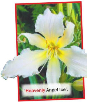 лилейник Heavenly Angel Ice