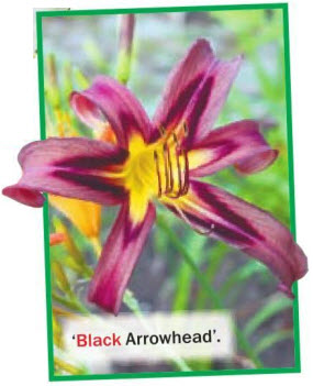 Лилейник Black Arrowhead