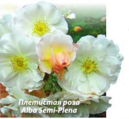 Плетистую розу Alba Semi-Plena