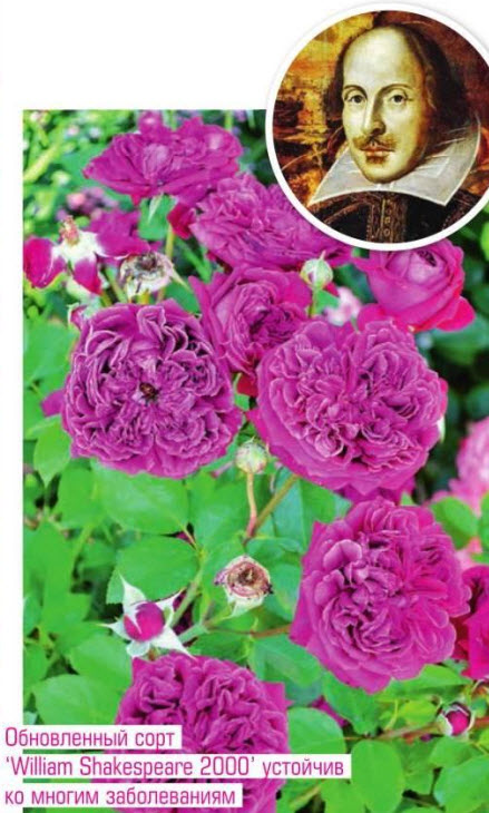 сорт розы William Shakespeare 2000