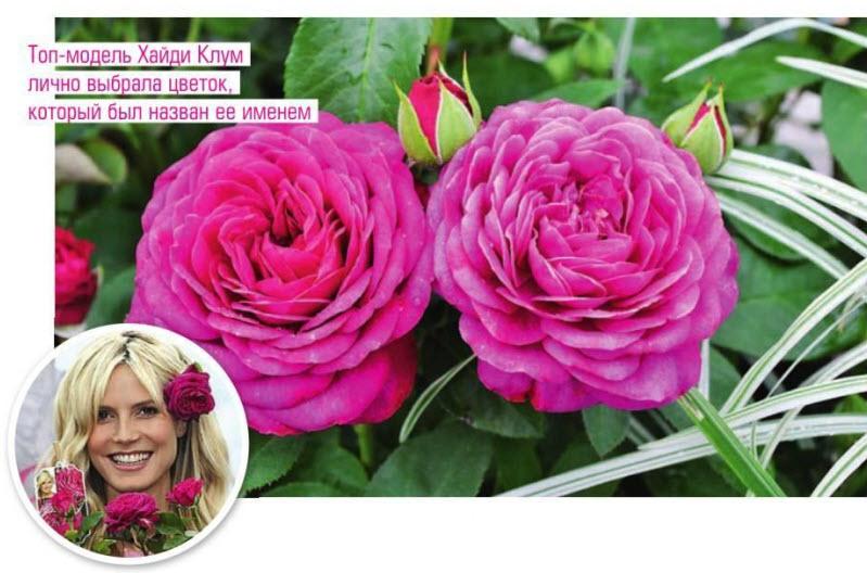 сорт розы 'Heidi Klum Rose'