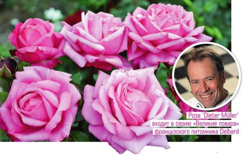 сорт розы Dieter Muller