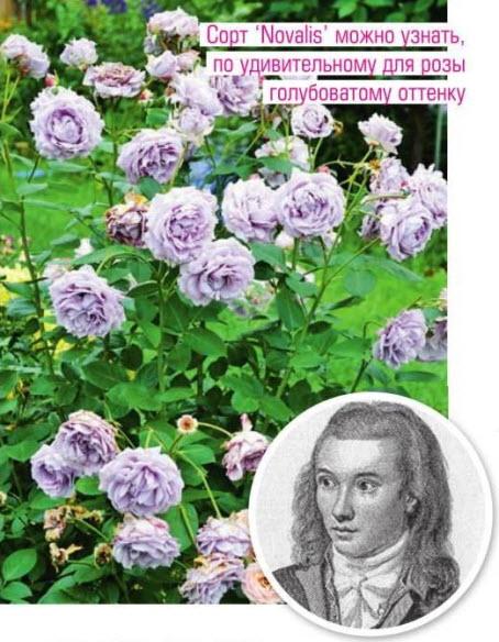 сорт розы 'Novalis'