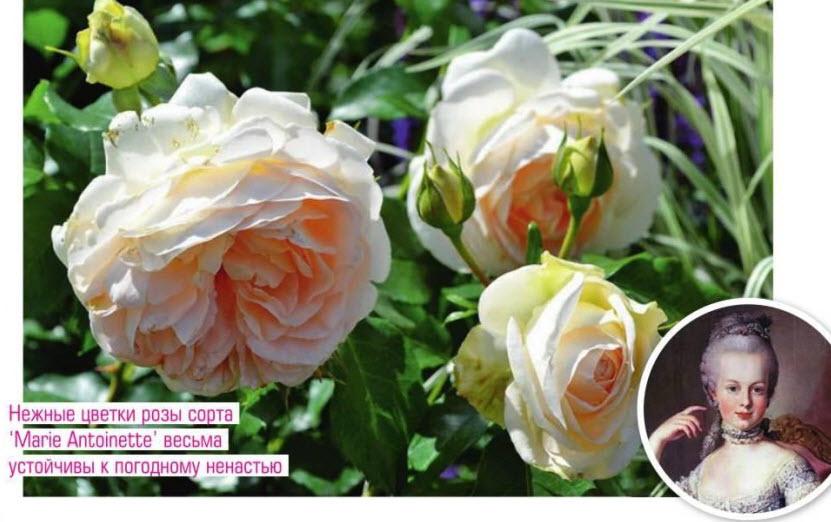сорт розы 'Marie Antoinette'