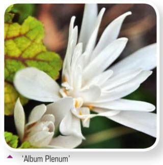 Безвременник Album Plenum