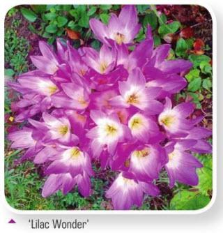 Безвременник Lilac Wonder