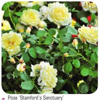 роза Stamford's Sanctuary