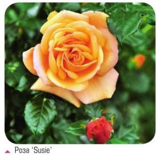роза Susie