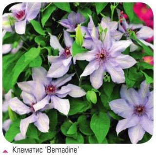 клематис Bernadine