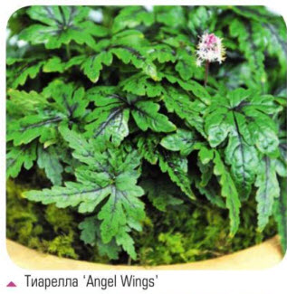 тиарелла 'Angel Wings'