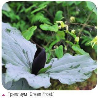 Триллиум 'Green Frost'