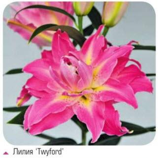 Лилия 'Twyford'