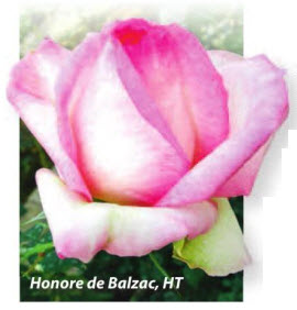 роза Honore de Balzac, HT