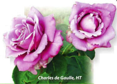 роза Charles de Gaulle, HT