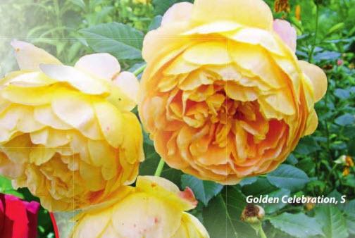 роза Golden Celebration, S
