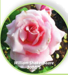 роза William Shakespear 2000, S