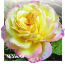 роза Mitsouko