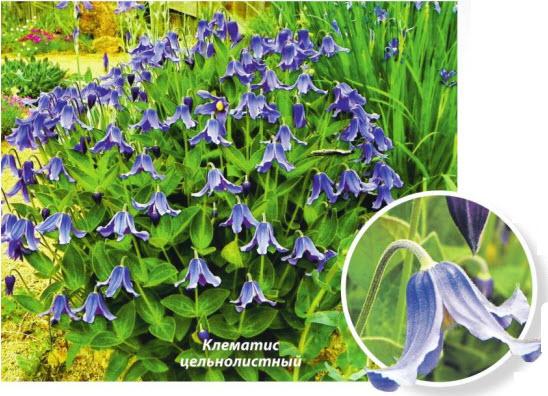 Клематис цельнолистный (Clematis integrifolia)