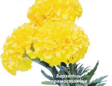 Бархатцы прямостоячие (T. erecta)