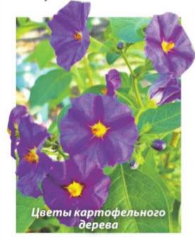 Цветы картофельного дерева