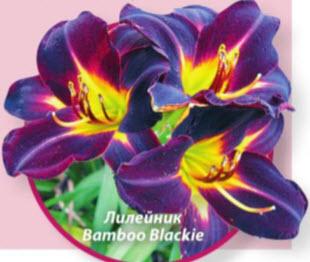 Лилейник гибридный (Hemerocallis x hybrid) Bamboo Blackie