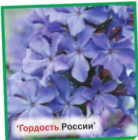 флоксы Гордость России