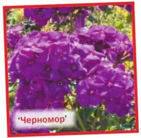 флоксы Черномор