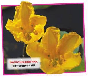 болотноцветник щитолистный (N. peltata)