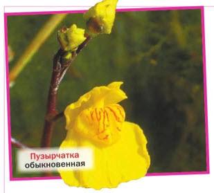 Пузырчатка обыкновенная (U. vulgaris)