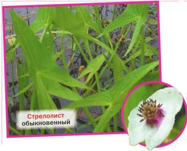 Стрелолист обыкновенный (S. sagittifolia = S. vulgaris)