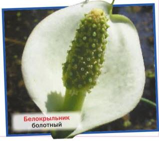 Белокрыльник болотный (С. palustris)