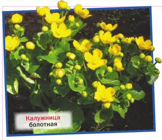 калужница болотная (С. palustris)