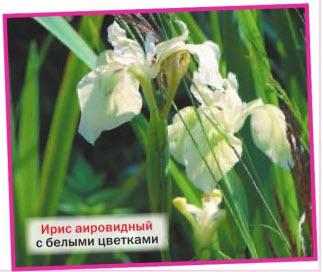 ирис аировидный (I. pseudacorus f. alba) с белыми цветками