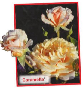 роза 'Caramella' (W. Kordes' Sohne, 2001)