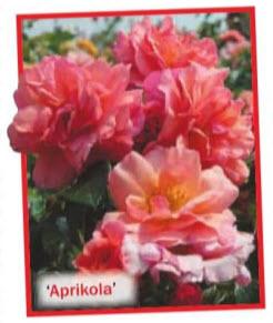 роза 'Aprikola'