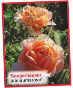 роза 'Sangerhauser Jubilaumsrose'