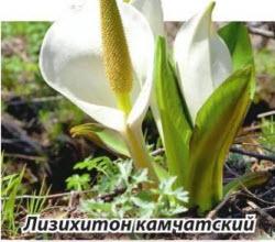 лизихитон камчатский