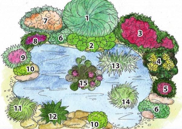 Схема расположения растений у пруда (экспликация):