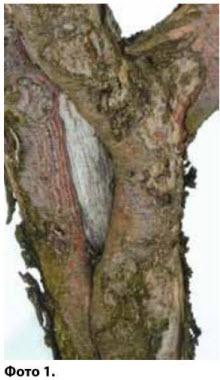 Зарастающая морозобоина - рана яблони
