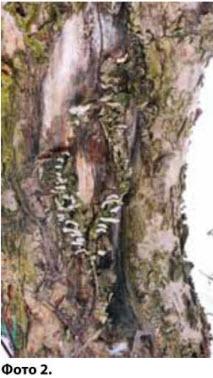 Поражение древесины: морозобоины, патогенный гриб