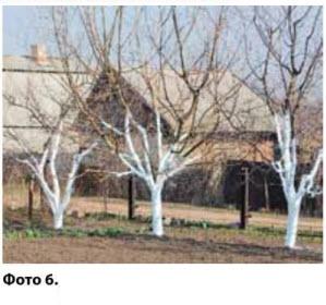 Деревья в саду обработаны садовой побелкой