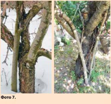Порослевые побеги, привитые в скелетные ветви черешни (А) и яблони (Б)