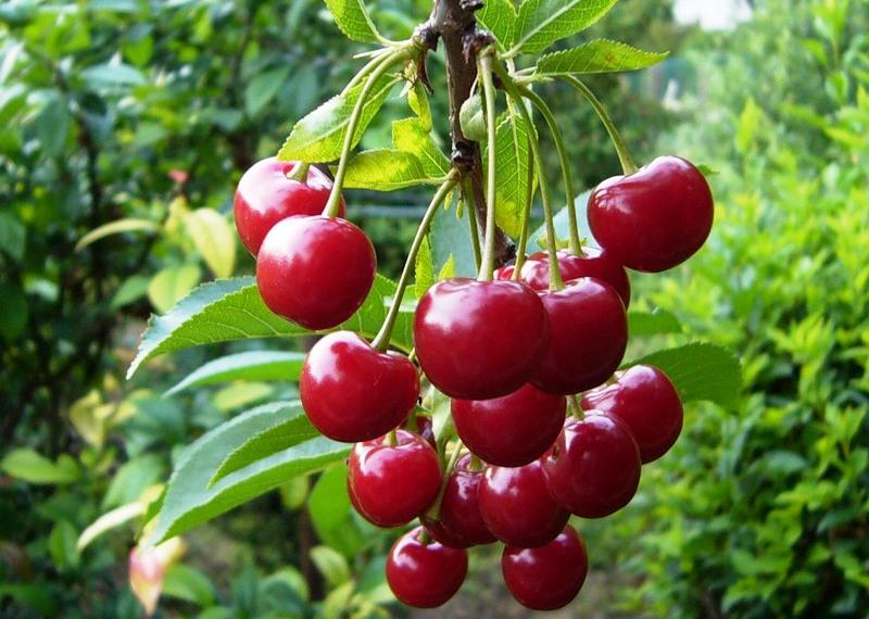 Plody-vishni-molodezhnoj-foto