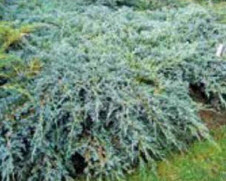 Можжевельник чешуйчатый Blue Carpet