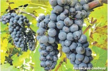 виноград хасанский сладкий
