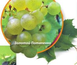 виноград Золотой Потапенко
