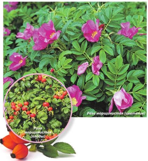 Роза морщинистая - плоды, цветение