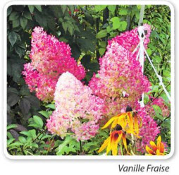 гортензия Vanille Fraise